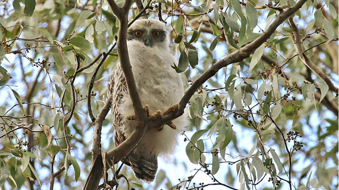 A young powerful owl. Photo: Gayle Osborne