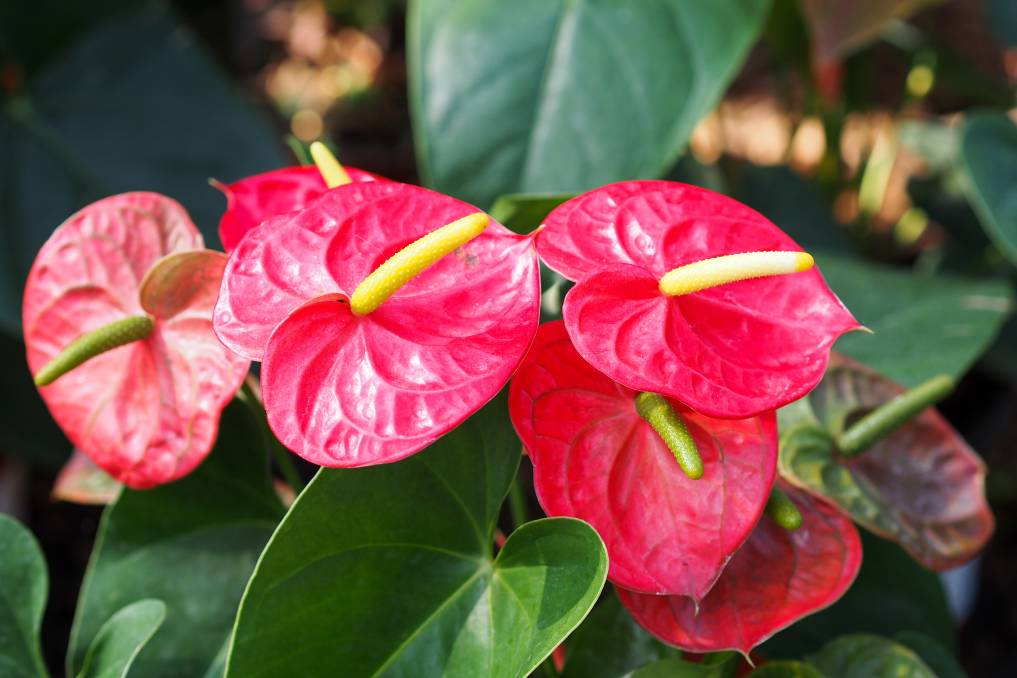 Anthurium, or flamingo flower, could be a cheeky alternative flower of love. Photo: Shutterstock